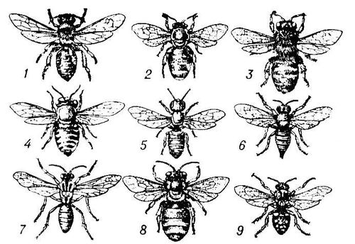Пчелы (самки): 1 — Andrena haemorrhoa; 2 — Nomia diversipes; 3 — Melitta leporina; 4 — Megahile argenata; 5 — Heriades sp.; 6 — Coelioxys sogdiana; 7 — Nomada Fedtschenkoi; 8 — Eucera clypeata; 9 — Melecta fascipennis. Пчёлы.