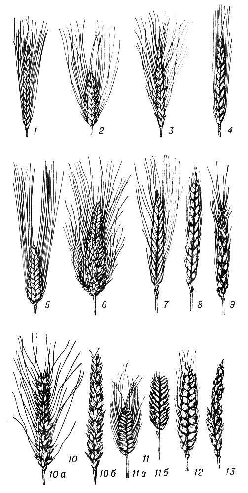 Виды пшеницы: 1 — культурная однозернянка: 2 — Тимофеева; 3 — полба (эммер); 4 — персидская (дика); 5 — твердая; 6 — тургидум; 7 — польская; 8 — маха; 9 — спельта; 10 — мягкая; 10а — остистый колос; 10б — безостый колос; 11 — плотноколосная; 11а — остистый колос; 11б — безостый колос; 12 — шарозерная; 13 — Вавилова (ванская). Пшеница.