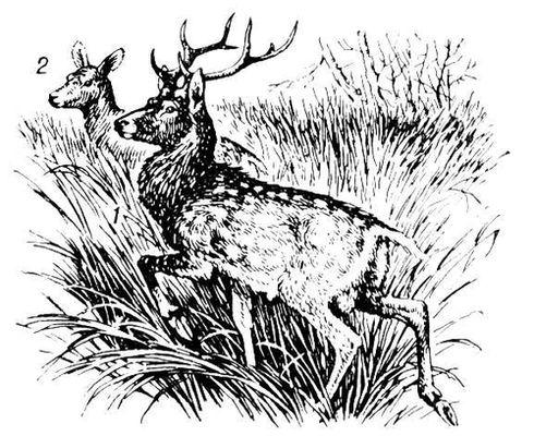 Пятнистый олень. 1 — самец; 2 — самка. Пятнистый олень.