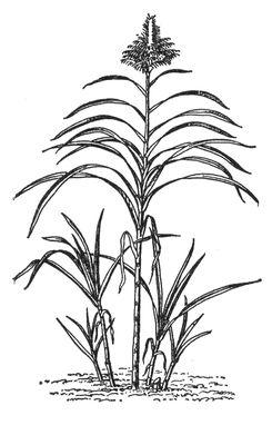 Сахарный тростник благородный. Сахарный тростник.