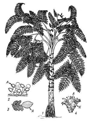 Семенные папоротники: 1 — реконструкция семенного папоротника из группы медуллозовых (род Medullosa); 2 — пёрышки папоротника Pecopteris с семенами; 3 — лист Neuropteris с семенем; 4 — реконструкция семени Lagenostoma Iomaxii , принадлежащего лигиноптерис; А — семена, К — купула. Семенные папоротники.