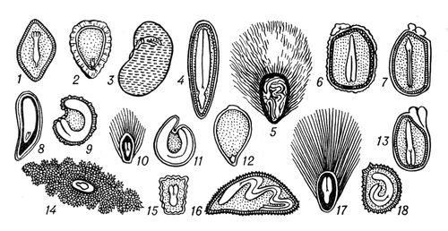 Рис. 2. форма и положение зародыша в семенах: 1 — сосны; 2 — смородины; 3 — фасоли; 4 — льна; 5 — хлопчатника; 6 — молочая; 7 — клещевины; 8 — винограда; 9 — ясколки: 10 — тополя; 11 — свёклы; 12 — камыша; 13 — фиалки; 14 — хинного дерева; 15 — коровяка; 16 — вьюнка; 17 — ивы; 18 — белены. Семя (ботан.).