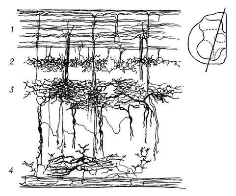 Рис. 2. Типы нервных клеток спинного мозга: 1 — афферентные (центростремительные) волокна в заднем канатике белого вещества и их ответвления в серое вещество; 2 — нейроны желатинозной субстанции заднего рога; 3 — вставочные нейроны промежуточного ядра, в котором заканчивается большинство разветвлений чувствительных волокон; 4 — двигательные нейроны переднего рога серого вещества. Спинной мозг.