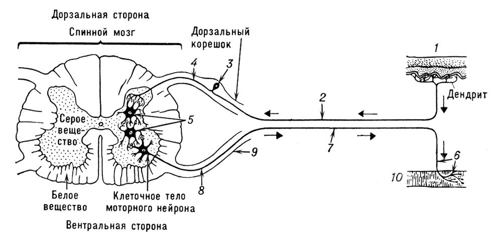 Рис. 4. Схема рефлекторной дуги: нервный импульс от рецептора 1 передаётся по чувствительному (афферентному) нейрону 2 в спинной мозг. Клеточное тело 3 чувствительного нейрона расположено в спинальном ганглии вне спинного мозга. Аксон 4 чувствительного нейрона в сером веществе мозга связан посредством синапсов с одним или несколькими вставочными нейронами 5, которые, в свою очередь, связаны с дендритами 6 моторного (эфферентного) нейрона 7. Аксон 8 последнего передаёт сигнал от вентрального корешка 9 на эффектор 10 (мышцу или железу). Спинной мозг.
