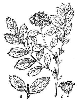 Спирея средняя, цветущая ветвь; а — листья нецветущих побегов; б — плод. Спирея.
