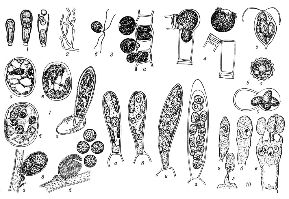Рис. 1. Спорообразование у низших растений. 1 — образование и выход эндоспор у сине-зеленой водоросли Dermocarpa; 2 — распадение мицелия на членики у актиномицета Nocardia; 3 — улотрикс (Ulothrix): выход спор (а) и спора (б); 4 — эдогониум (Oedogonium): выход зооспоры; 5 — хламидомонада (Chlamydomonas): четыре споры внутри оболочки произведшей их клетки; 6 — хламидомонада (Chlamydomonas): зигота (а) и её прорастание четырьмя спорами (б); 7 — спирогира (Spirogyra): зигота (а) и её прорастание — образование четырёх гаплоидных ядер (б), отмирание трёх ядер (в), одноядерный проросток (г); 8 — каллитамнион (Callithamnion): тетраспорангий (а) и выход тетраспор (б); 9 — ламинариевая водоросль Chorda filum: спорангий с диплоидным ядром (а), четырьмя (б) и шестнадцатью (в) гаплоидными ядрами, с почти созревшими спорами (г); 10 — базидия с дикарионом (а), диплоидным ядром (б) и четырьмя гаплоидными ядрами (в) у базидиальных грибов; г — переход гаплоидного ядра в базидиоспору. Спорообразование.