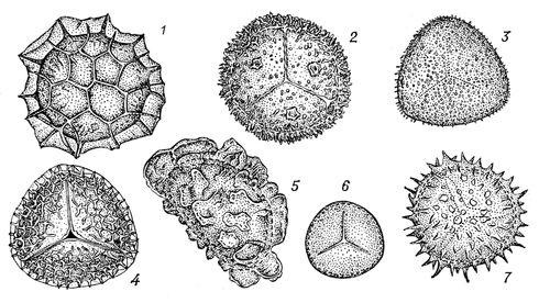 Споры некоторых мохообразных (1 — Fossombronia angulosa, 2 — Anthoceros tuberculatus), равноспоровых папоротникообразных (3 — Pteridium aquilinum, 4 — Lycopodium clavatum, 5 — Dryopteris filix-mas) и разноспоровых папоротникообразных (6 — Salvinia cucullata, 7 — Selaginella radiata). Споры.