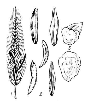 Спорынья: 1 — колос ржи с выступающими склероциями; 2 — склероции разной формы; 3 — поперечный разрез склероция. Спорынья.