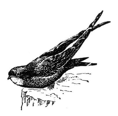 Черный стриж. Стрижи (птицы отр. длиннокрылых).