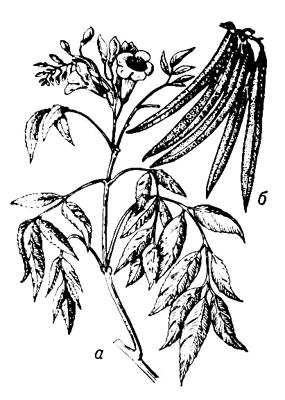 Текома прямостоячая: а — цветущая ветвь; б — плоды. Текома.