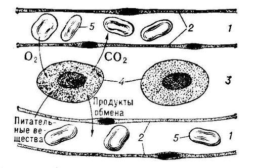 Схема диффузии веществ между капиллярами и клетками тела через тканевую жидкость, омывающую клетки: 1 — капилляр; 2 — эндотелий капилляра; 3 — тканевая жидкость; 4 — тканевые клетки; 5 — эритроциты. Тканевая жидкость.