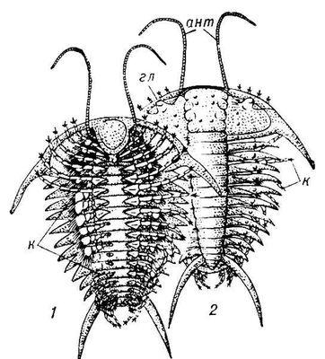 Реконструкция трилобита Ceraurus из среднего ордовика: 1 — вид с брюшной стороны; 2 — вид со спинной стороны; ант — антенна; гл — глаз; к — конечности. Трилобиты.