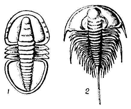 Трилобиты: 1 — Serrodiscus (подкласс миомер, ранний кембрий); 2 — Olenellus (подкласс полимер, ранний кембрий). Трилобиты.