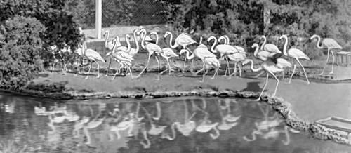 Фламинго в заповеднике «Аскания-Нова». Украинская Советская Социалистическая Республика.