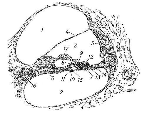 Разрез улитки и кортиева органа (схема): 1 — лестница преддверия; 2 — барабанная лестница; 3 — улитковый ход; 4 — рейснерова перепонка; 5 — сосудистая полоска; 6 — спиральная пластинка; 7 — основная перепонка; 8 — внутренние и 9 — наружные волосковые клетки; 10 — внутренние и 11 — наружные опорные клетки; 12 — клетки Дейтерса; 13 — клетки Клаудиуса; 14 — клетки Гензена; 15 — туннель; 16 — спиральный ганглий; 17 — покровная перепонка. Улитка.