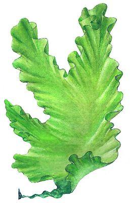 Зелёные водоросли. Ульва (Ulva). Улотриксовые водоросли.