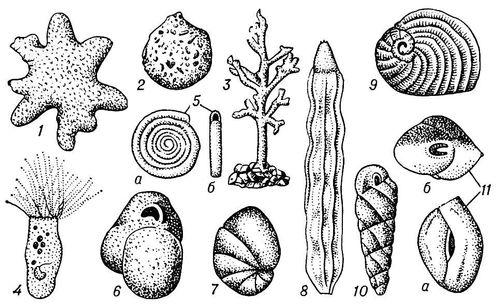 Рис. 1. Фораминиферы: 1 — Astrorhiza arenaria (увеличено в 2,5 раза); 2 — Saccammina sphaerica (в 3,5); 3 — Dendrophrya erecta (в 7,5); 4 — Plagiophrys cylindrica (в 55); 5 — Ammodiscus incertus (в 67,5): а — вид сбоку, б — вид с устья; 6 — Miliammina circularis (в 12,5); 7 — Nonion labradoricum (в 30); 8 — Nodosaria affinis, ископаемое (в 17,5); 9 — Peneroplis planatus (в 17,5); 10 — Turrilina andreaei, ископаемое (в 32,5); 11 — Quenqueloculina seminula (в 40): а — вид сбоку, б — вид с устья. Фораминиферы.
