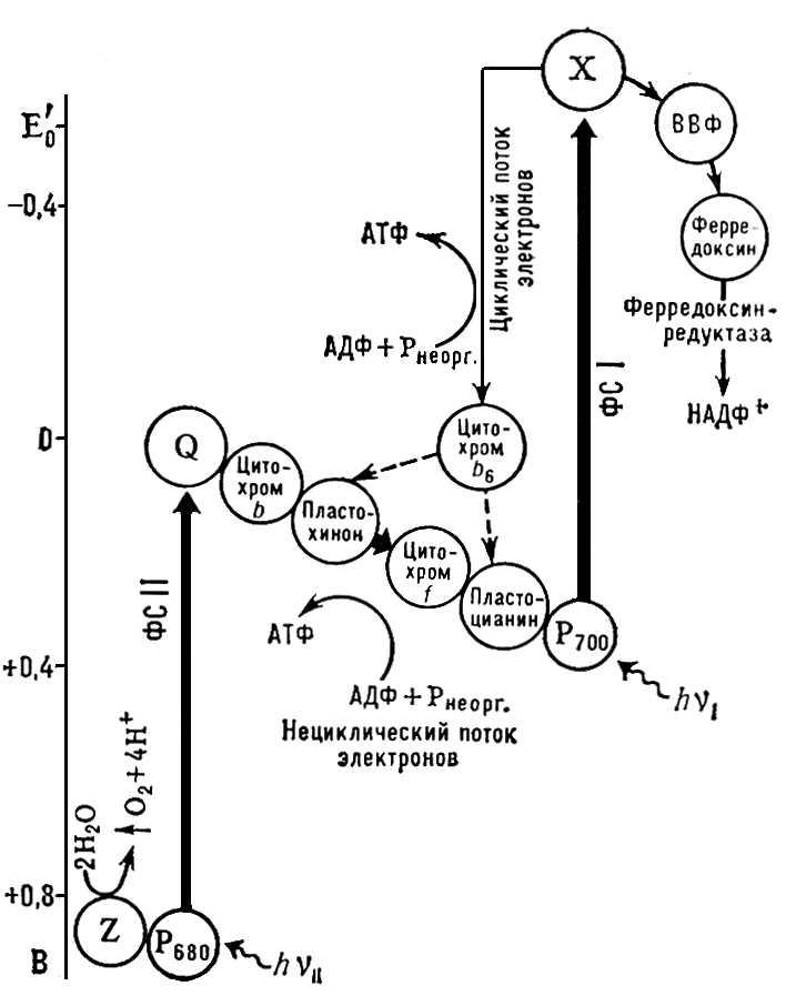 Рис. 1. Схема фотохимических систем (ФС I и ФС II) фотосинтеза. <img src=