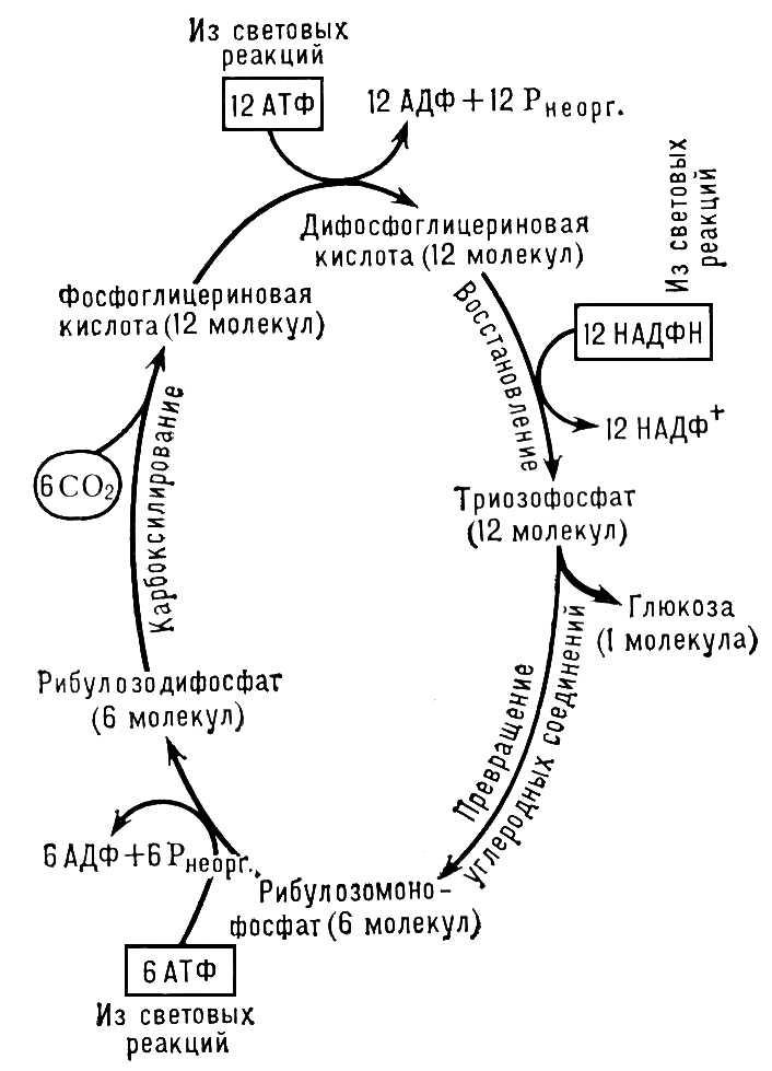 Рис. 2. Упрощённая схема цикла Калвина — пути фиксации углерода при фотосинтезе. Фотосинтез.