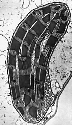 Микрофотография хлоропласта. Хлоропласты.