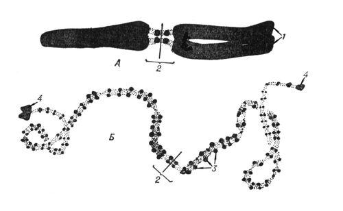 Рис. 3. Морфология одной и той же хромосомы в метафазе митоза (А) и в профазе мейоза (Б); 1 — хроматиды; 2 — центромера; 3 — хромомеры; 4 — теломеры (крупные хромомеры на концах хромосомы). Хромосомы.