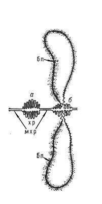 Рис. 4. Неактивная (а) и функционирующая (б) хромомеры; последняя образует боковые петли (бп); мхр — межхромомерные участки хромосомы. Хромосомы.