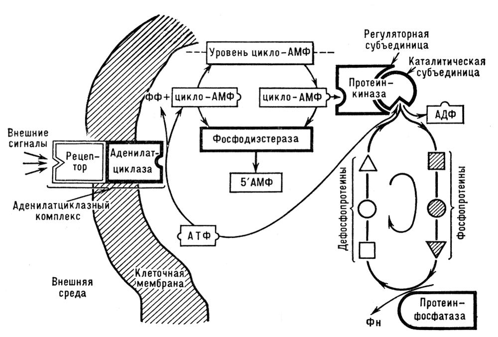 Схема механизма действия цАМФ в клетках животных и растений. АТФ — аденозинтрифосфат; АДФ — аденозиндифосфат; ф<sub>н</sub> — фосфат; фф — пирофосфат. Циклические нуклеотиды.