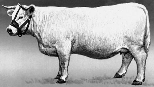 Корова породы шароле. Шароле.