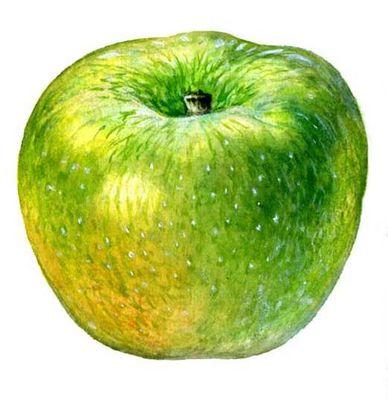 Плоды сортов яблони. Ренет Симиренко. Яблоня.
