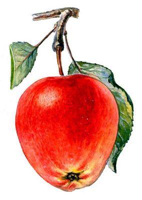 Плоды сортов яблони. Пепин шафранный. Яблоня.
