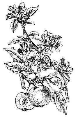 Цветущая ветвь (1) и плод (2) яблони. Яблоня.