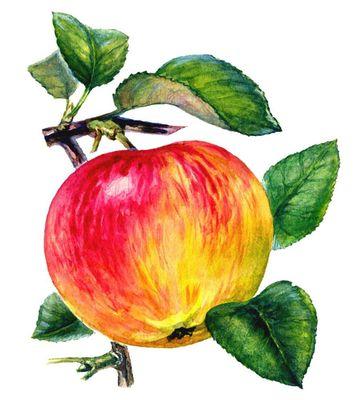 Плоды сортов яблони. Мелба. Яблоня.
