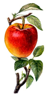 Плоды сортов яблони. Джонатан. Яблоня.