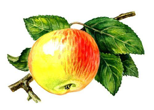 Плоды сортов яблони. Анис полосатый. Яблоня.