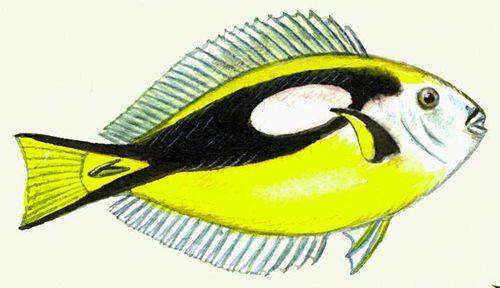 Водные ядовитые животные: рыба-хирург. Ядовитые животные.