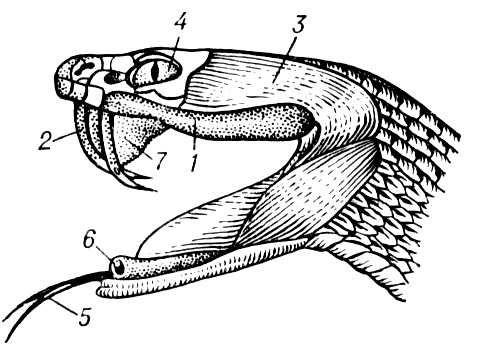 Голова гремучей змеи: 1 — железа, вырабатывающая яд; 2 — ядовитые зубы с каналом для стока яда; 3 — мышца, выдавливающая из железы яд; 4 — глаз; 5 — язык; 6 — дыхательное отверстие трахеи; 7 — складка слизистой оболочки десны, охватывающая зуб. Ядовитые животные.
