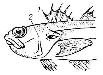 Морской дракончик: 1 — луч-колючка спинного плавника; 2 — жаберная крышка с колючкой. Ядовитые животные.
