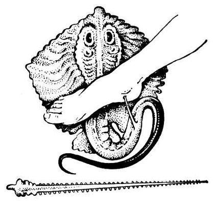 Хвостокол, или морской кот, ранящий человека, и его шип. Ядовитые животные.