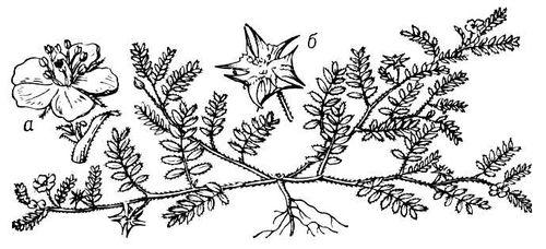Якорцы стелющиеся: а — цветок; б — плод. Якорцы.